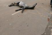Cavalo é encontrado agonizando em rua de Lagoa Santa