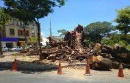 Árvore cortada da Praça Dr. Lund tinha raízes apodrecidas, diz Prefeitura