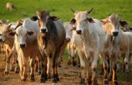 Secretaria de Agricultura e Pecuária de Jaboticatubas prorroga prazo para vacinação de animais bovinos contra a febre aftosa